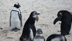Afrikaanse Pinguin kolonie op Boulders Beach bij Kaapstad, Zuid-Afrika