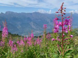 Zwitserland in de zomer: kleurrijke bloemen in de alpenweides op 2200 meter hoogte bij Savoleyres bij Verbier