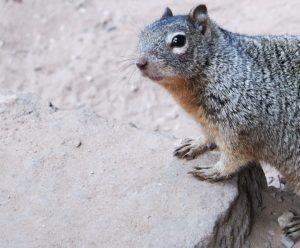 Squirrel gespot in een nationaal park in de VS