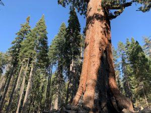 Een Giant Sequoia tussen de gewone bomen in Mariposa Grove in Yosemite National Park, Californie, Verenigde Staten